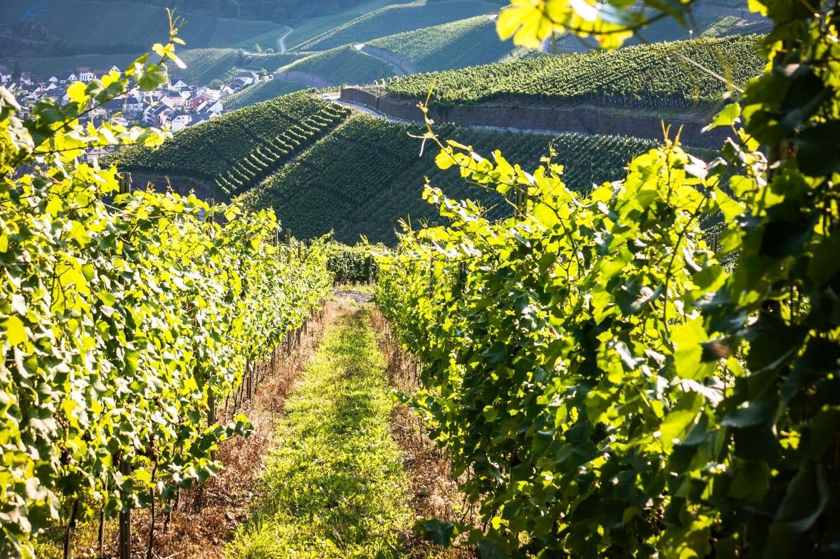 fond de page vigne pour matériel viticole EGRETIER